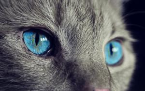 chat au yeux bleu