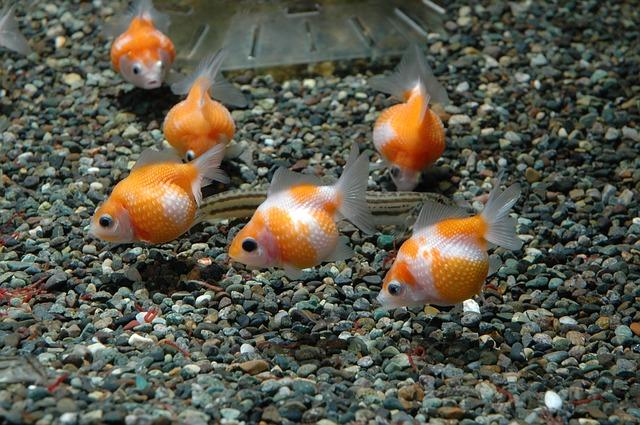 poisson rouge
