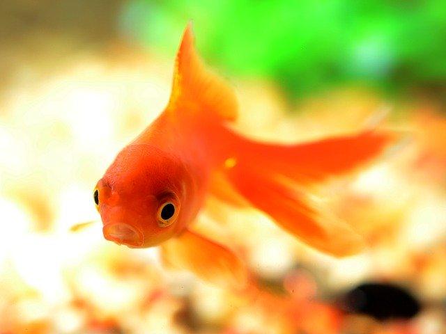 poisson rouge dans aquarium